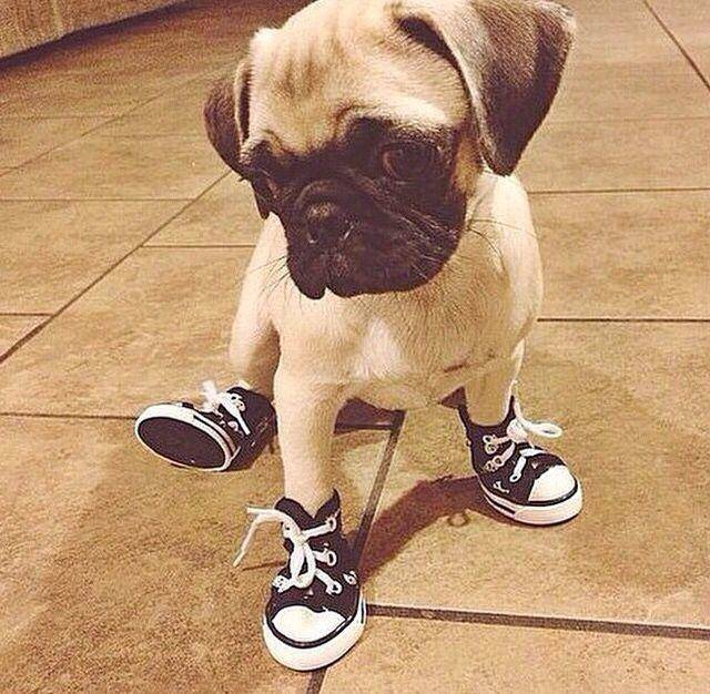 Puppies wearing boots